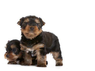 Chiot Yorkshire terrier : 4  mâles – femelle 0 246412