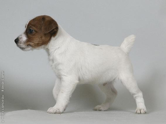 Chiot Jack russell terrier : 3  mâles - femelles 4 244961