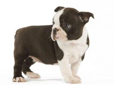 Chiot Terrier de Boston : 1  mâle – femelle 0 237776