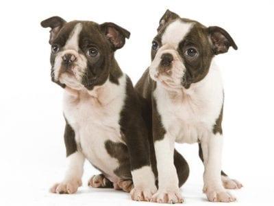 Chiot Terrier de Boston : 0  mâle – femelles 3 241242