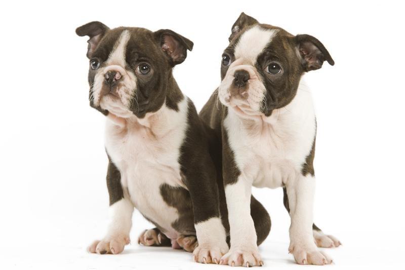 Chiot Terrier de Boston : 0  mâle - femelles 3 241242