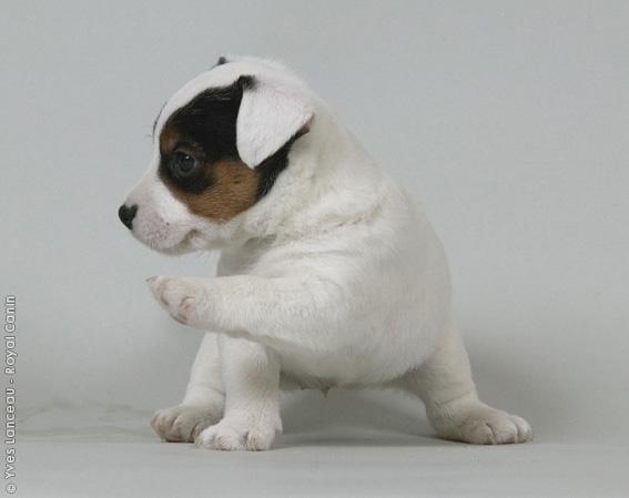 Chiot Jack russell terrier : 3  mâles - femelles 2 240836
