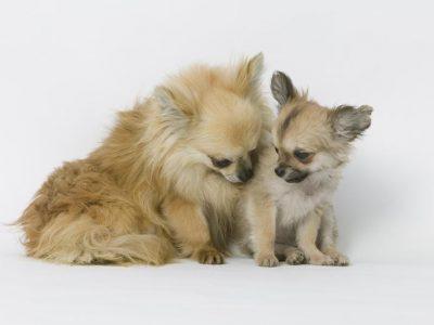 Chiot Chihuahua : 2  mâles – femelles 2 244137