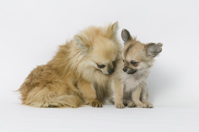 Chiot Chihuahua : 1  mâle - femelles 2 244137