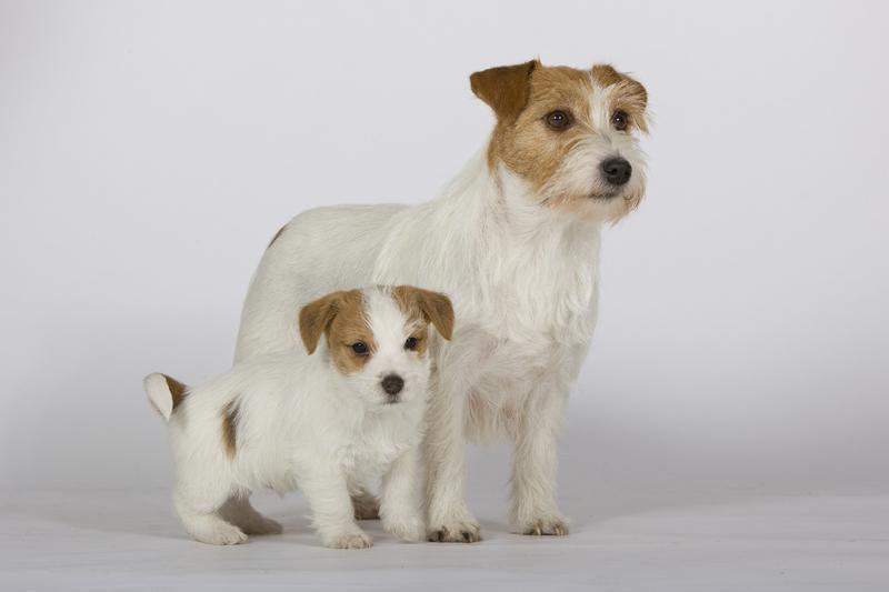 Chiot Parson terrier : 3  mâles – femelles 3 242345