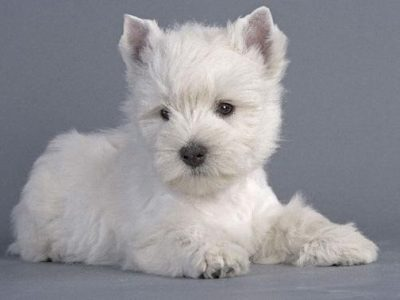 Chiot West highland white terrier : 1  mâle – femelles 5 249168