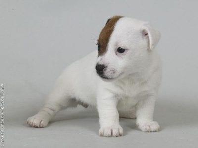 Chiot Jack russell terrier : 1  mâle – femelle 1 238267