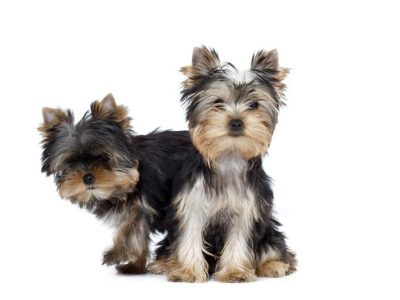Chiot Yorkshire terrier : 1  mâle – femelles 2 244235