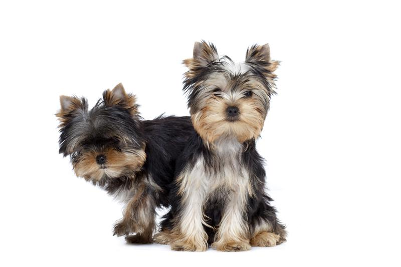 Chiot Yorkshire terrier : 1  mâle - femelles 2 244235