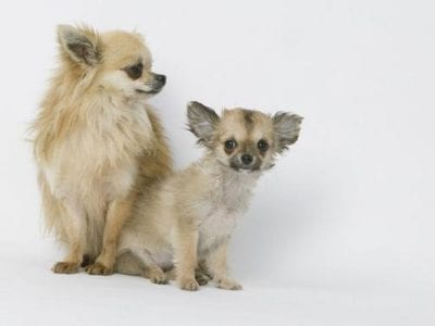 Chiot Chihuahua : 1  mâle – femelle 0 238703