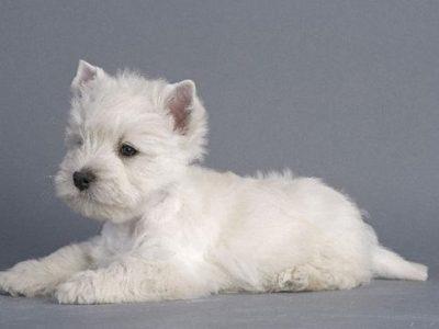 Chiot West highland white terrier : 0  mâle – femelles 2 249169
