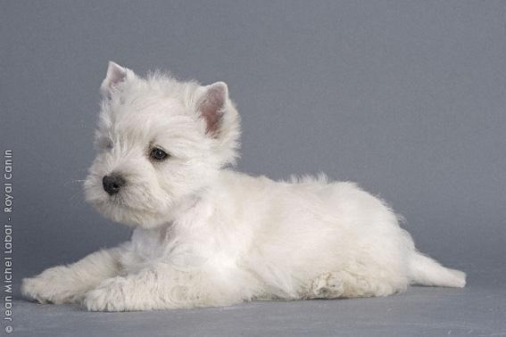 Chiot West highland white terrier : 0  mâle - femelles 2 249169