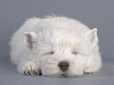Chiot West highland white terrier : 3  mâles – femelle 1 237017