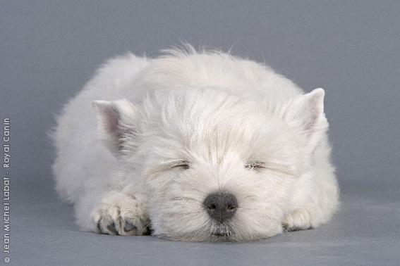 Chiot West highland white terrier : 3  mâles - femelle 1 237017