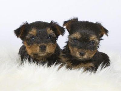 Chiot Yorkshire terrier : 3  mâles – femelles 3 239829