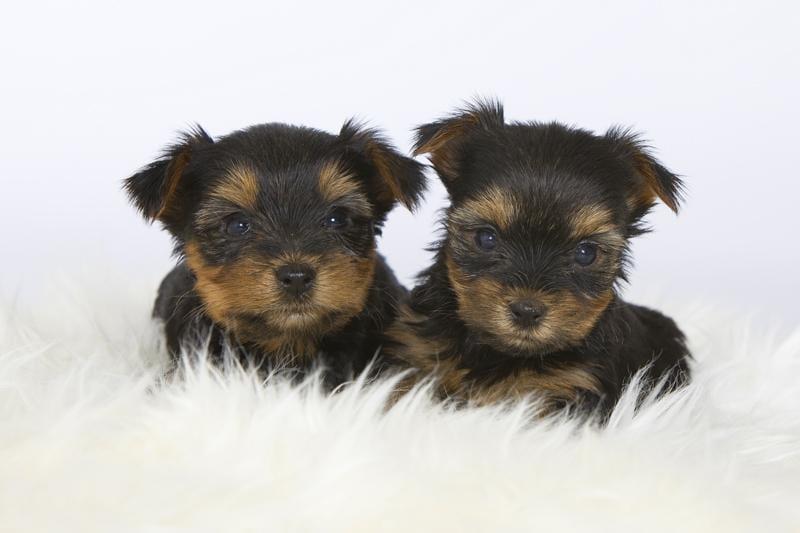 Chiot Yorkshire terrier : 1  mâle – femelle 0 239829