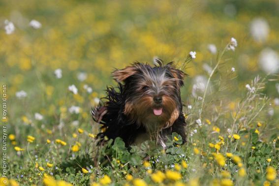 Chiot Yorkshire terrier : 2  mâles - femelles 2 243899