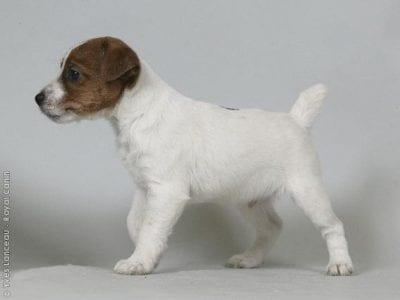 Chiot Jack russell terrier : 3  mâles – femelles 3 239366