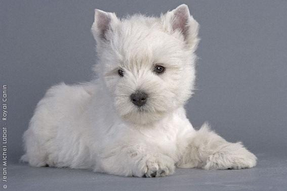 Chiot West highland white terrier : 2  mâles - femelles 2 238213