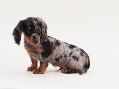 Chiot Teckel à poil dur : 1  mâle – femelles 2 238601