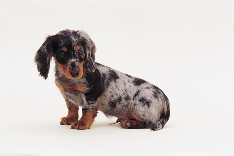 Chiot Teckel à poil dur : 1  mâle – femelle 0 238601
