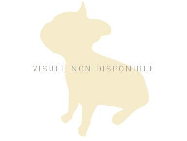 Chiot Staffordshire bull terrier : 1  mâle – femelles 2 245334