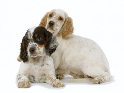Chiot Setter Anglais : 2  mâles – femelles 3 245496