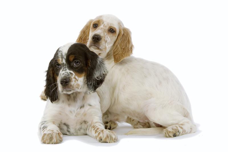 Chiot Setter Anglais : 2  mâles - femelles 3 245496