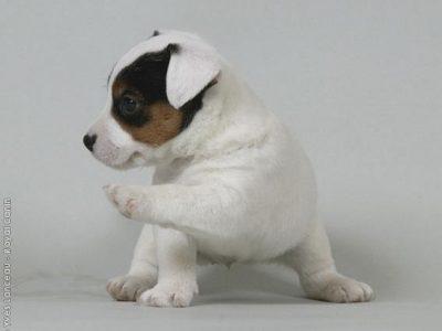 Chiot Jack russell terrier : 0  mâle – femelle 1 244004
