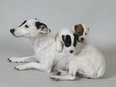 Chiot Jack russell terrier : 3  mâles – femelles 2 237792
