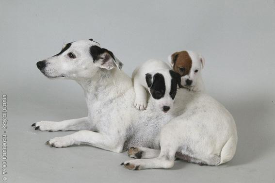 Chiot Jack russell terrier : 3  mâles - femelles 2 237792