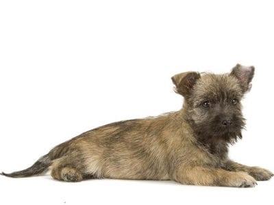 Chiot Cairn terrier : 1  mâle – femelles 3 240409