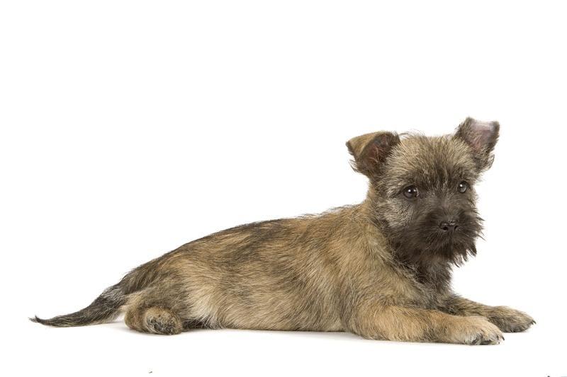 Chiot Cairn terrier : 1  mâle - femelles 3 240409