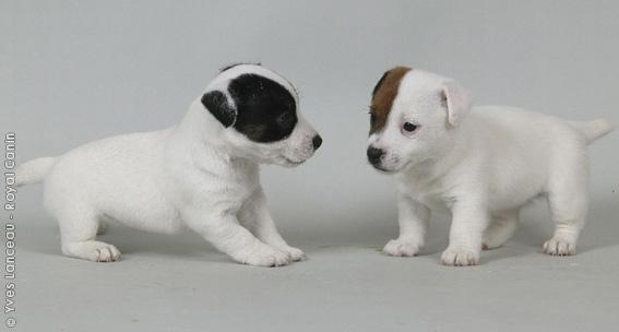 Chiot Jack russell terrier : 1  mâle - femelle 0 249809