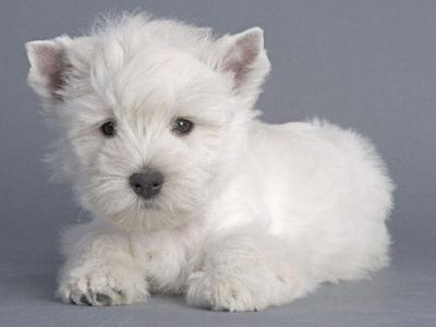 Chiot West highland white terrier : 1  mâle – femelles 3 245839