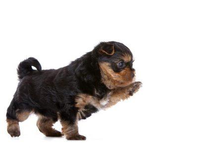 Chiot Yorkshire terrier : 1  mâle – femelle 0 247291