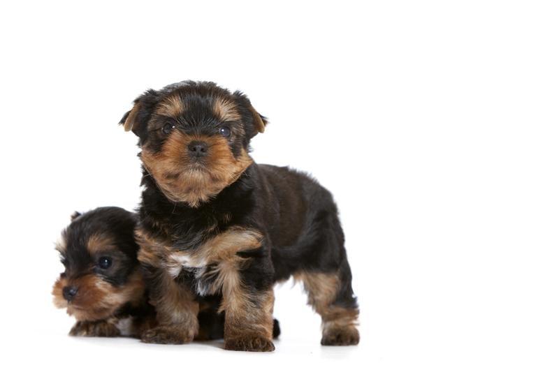 Chiot Yorkshire terrier : 3  mâles – femelle 1 237252