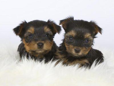 Chiot Yorkshire terrier : 1  mâle – femelles 2 241717
