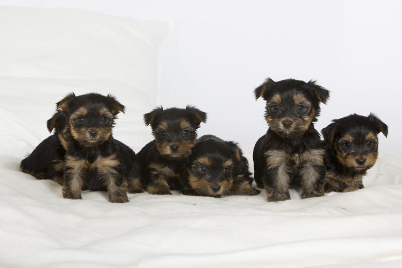 Chiot Yorkshire terrier : 1  mâle – femelles 5 244632