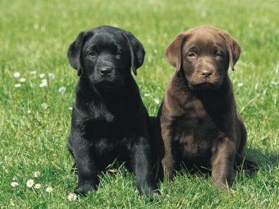 Chiot Labrador retriever : 2  mâles – femelle 0 241849