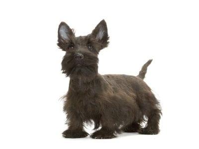 Chiot Terrier Ecossais : 3  mâles – femelle 0 241219