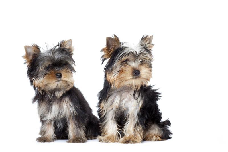 Chiot Yorkshire terrier : 1  mâle - femelles 2 240411