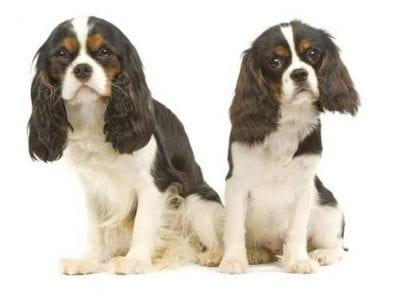 Chiot Cavalier king charles spaniel : 3  mâles – femelles 4 240088