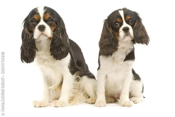 Chiot Cavalier king charles spaniel : 3  mâles - femelles 4 240088