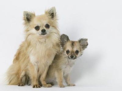Chiot Chihuahua : 3  mâles – femelles 3 239870