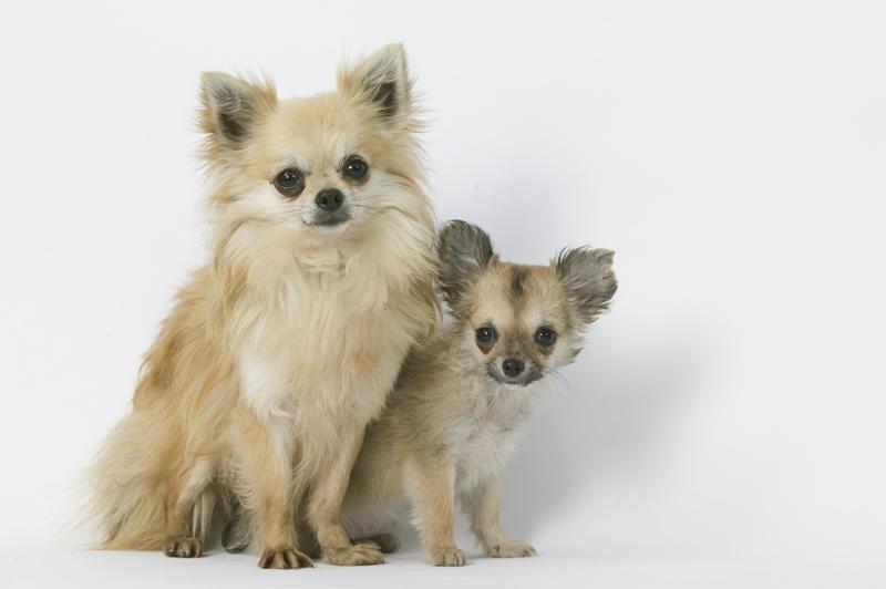 Chiot Chihuahua : 3  mâles – femelle 0 239870