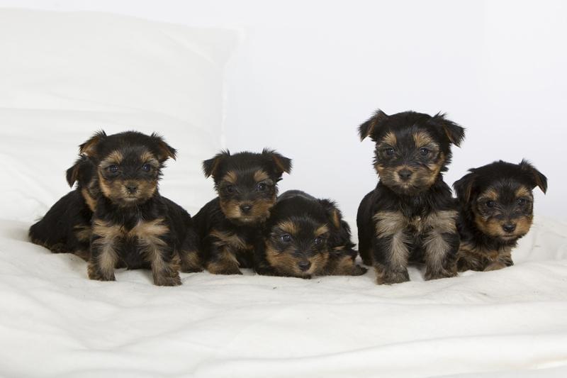 Chiot Yorkshire terrier : 1  mâle - femelle 1 239071