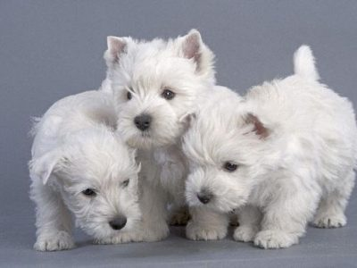 Chiot West highland white terrier : 2  mâles – femelles 5 241718