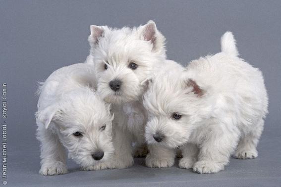 Chiot West highland white terrier : 2  mâles - femelles 5 241718