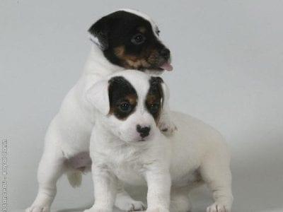 Chiot Jack russell terrier : 1  mâle – femelle 0 238348